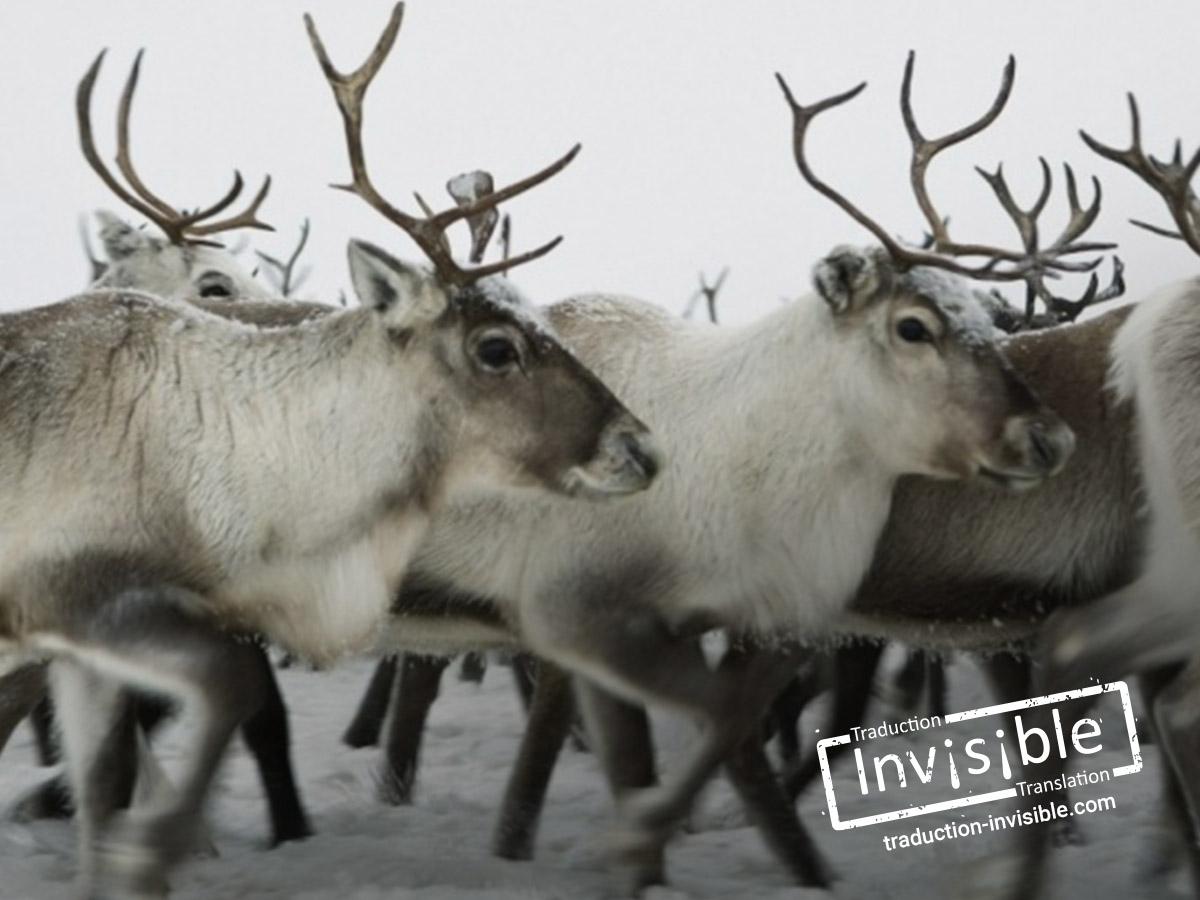 Entre « rennes » et « caribous »
